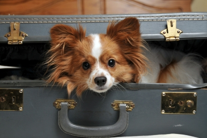 Funny Papillon Dog New Images