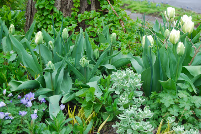 Planting by the maple tree around the Circle Lawn includes the parrot tulip, Tulipa 'White Parrot'.  I love it here with the white variegated Sedum 'Frosty Morn'! A few Anemone blanda 'Blue Shades' in the lower left corner. Close-up of Tulip 'White Parrot' around the Circle Lawn.