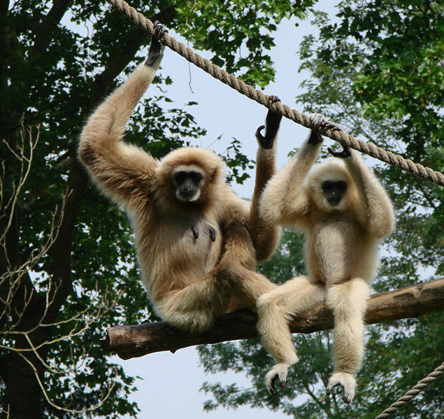 the evolution and adaptations of the tropical rainforest primates the gibbons Modern day old world monkeys make up the superfamily cercopithecoidea, the apes- the gibbons, chimpanzees, bonobo's, gorillas, orangutans and humans- are the only surviving members of the superfamily hominoidea.