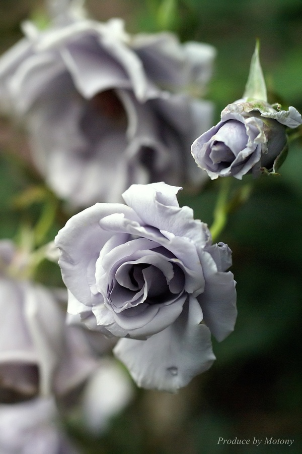 Adorable beautiful grey rose
