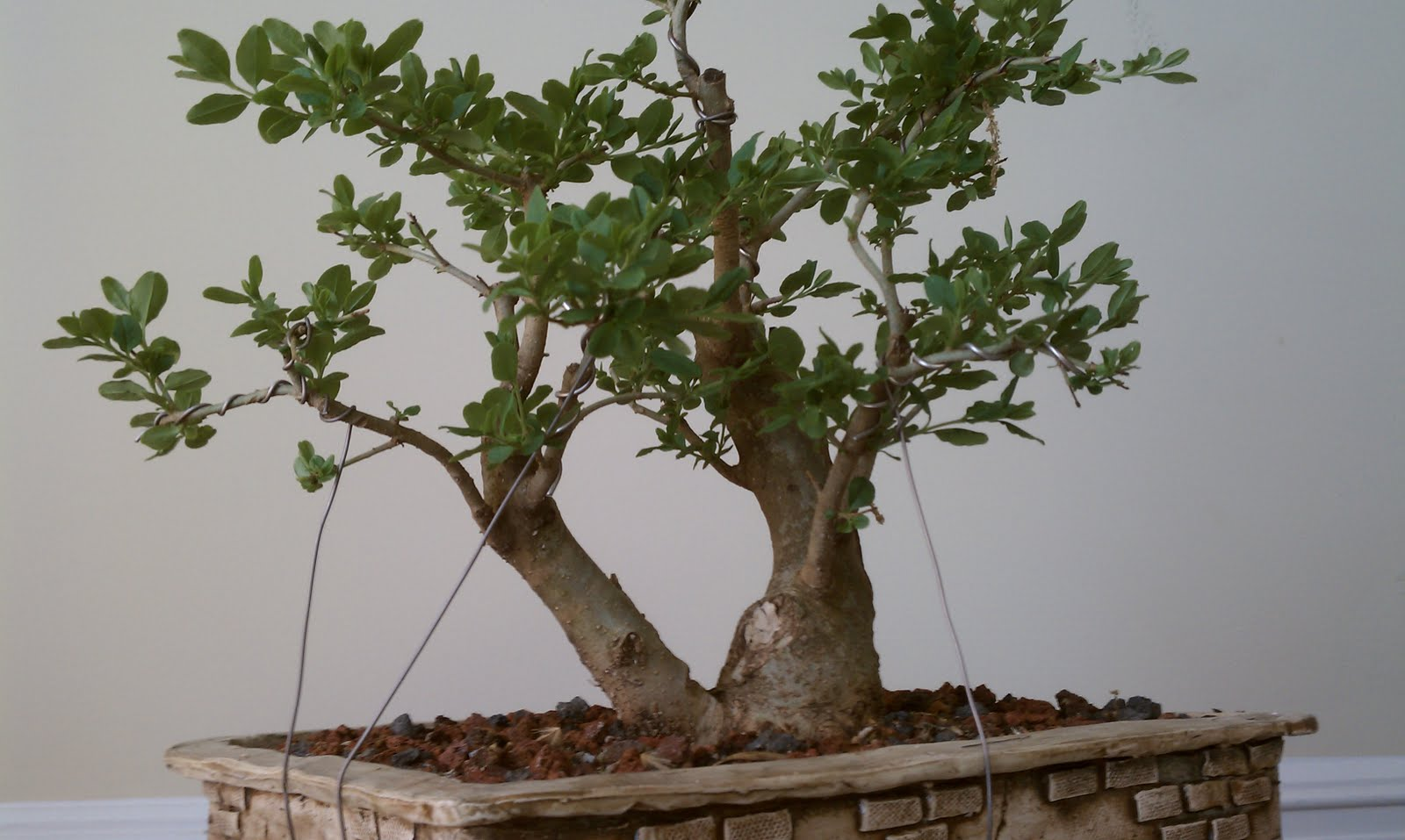 Bodhisattva Bonsai Privet Double Trunk Bonsai Gets A Little Work