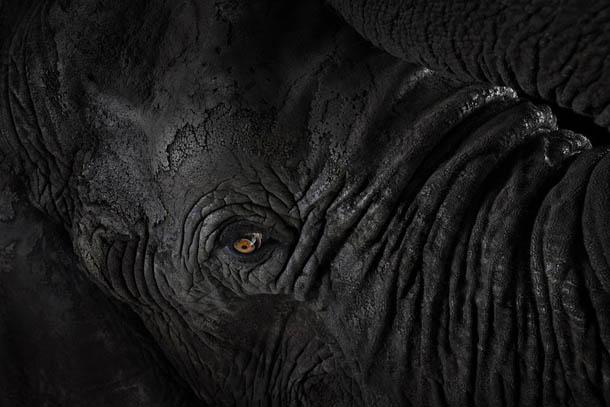 fotografia de animais selvagens- Brad Wilson - elefante