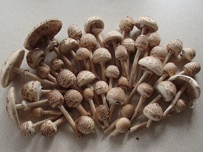 grzyby w październiku, grzybobranie w październiku, grzyby w Puszczy Niepołomickiej, czubajka gwiaździsta,czubajka gwiaździsta, Macrolepiota konradii,