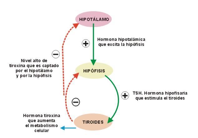 aprendiendo-prof.aly: EL SISTEMA ENDOCRINO