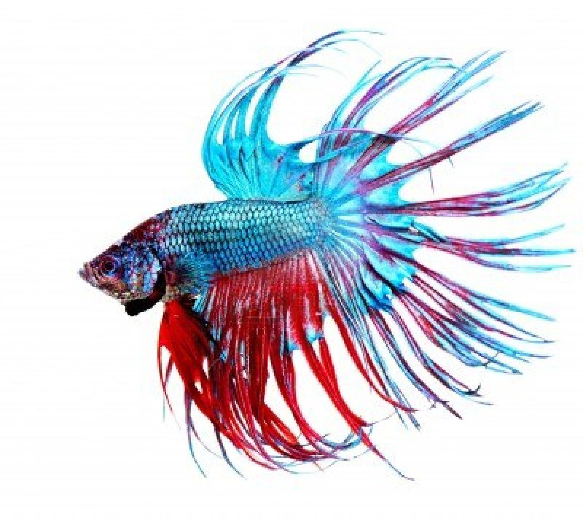 Sasha 39 s inspirations meow for Betta fish colors