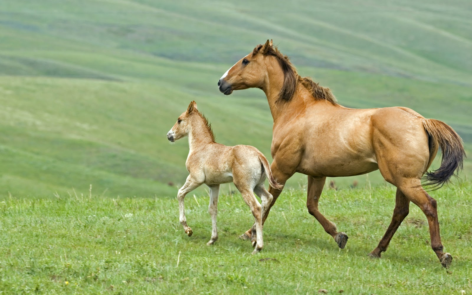 Must see   Wallpaper Horse Wolf - horse+running+with+baby  Pic_804316.jpg