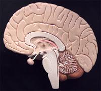 Anatomical Brain Model1