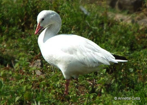With its dazzling white plumage, the snow goose is aptly named and is one of