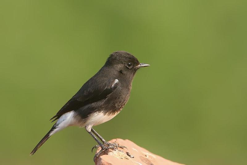 Suara Burung Decu Gacor Untuk Masteran