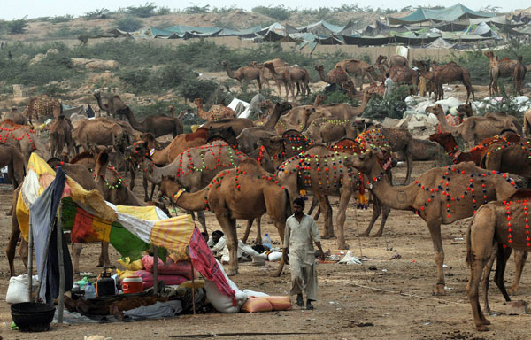 Camel Qurbani Karachi http://photos50.blogspot.com/2011/11/camels-for-eid-qurbani-in-karachi.html