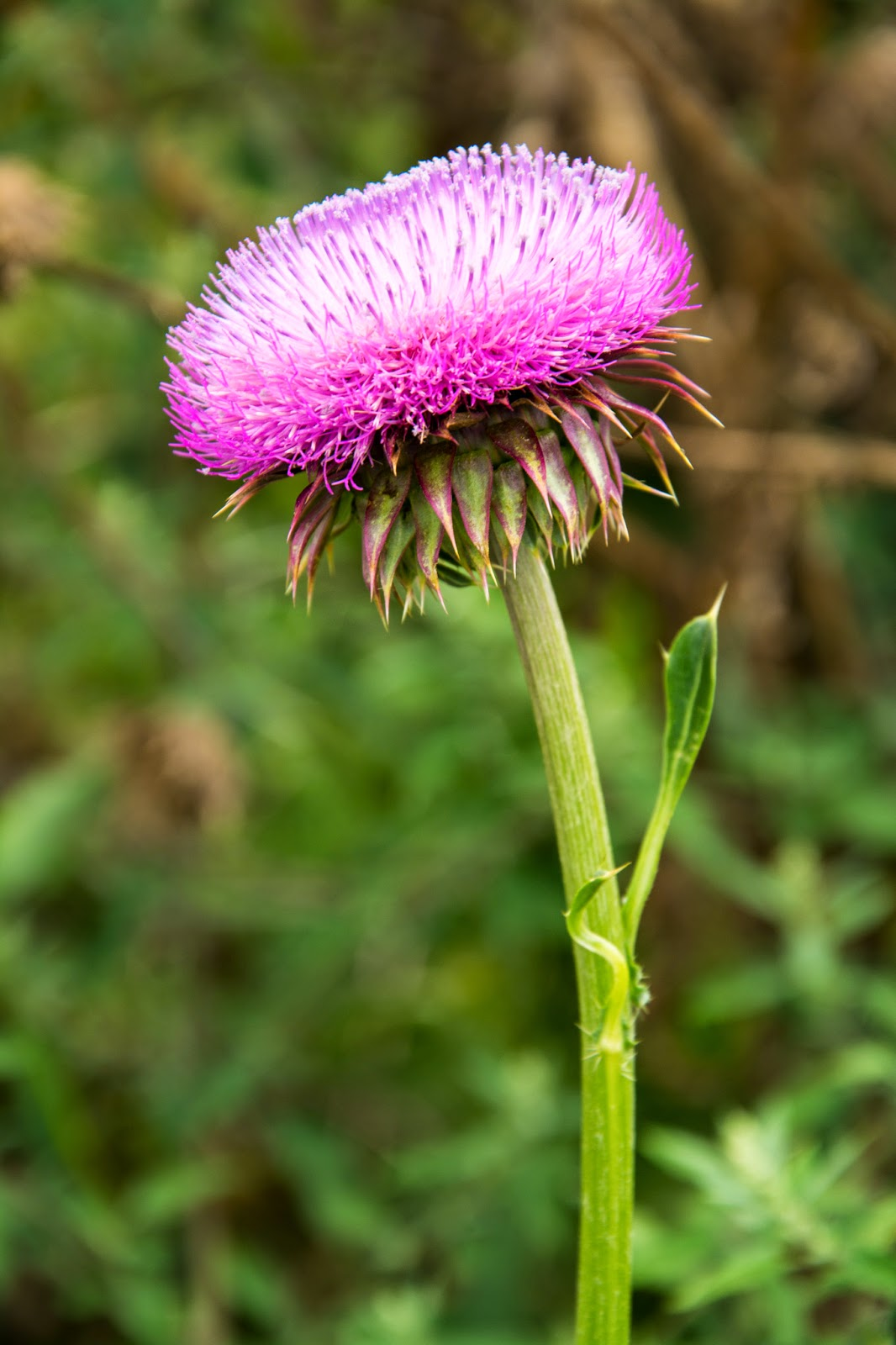Thistle at Miamisburg Mound