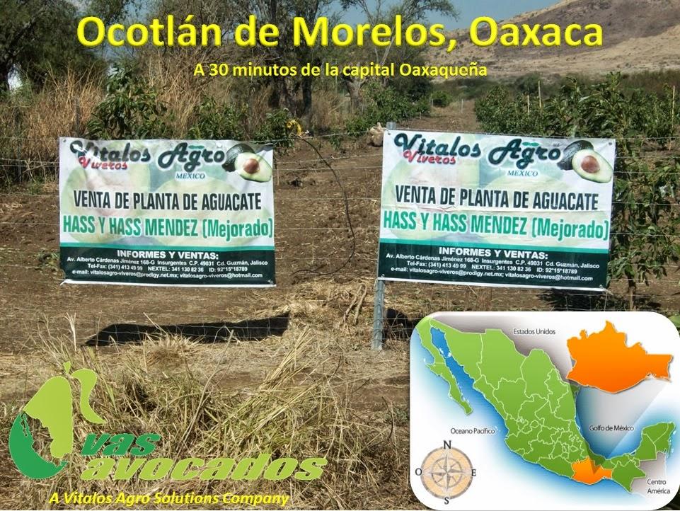 Plantas de aguacate hass ya disponibles para su venta en for Viveros en oaxaca