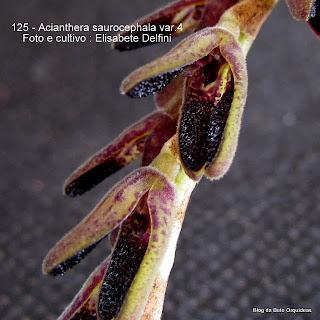 Pleurothallis saurocephala, Hum boldtia saurocephala