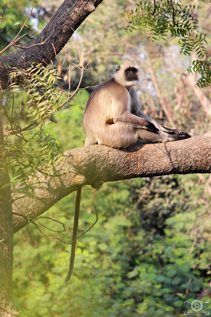 Gray Langur By Shashank Mittal Photography, Gray Langur, Shashank Mittal Photography,Shashank Mittal, Photography, Shashank, Mittal