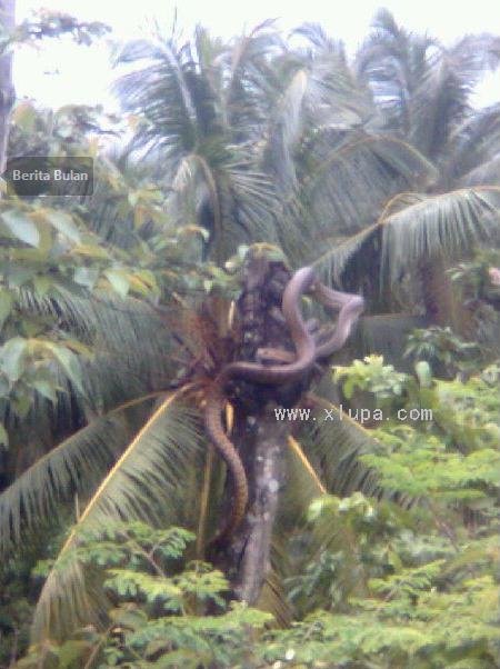 Ular Senduk Sebesar Pokok Kelapa Dirakam Di Johor