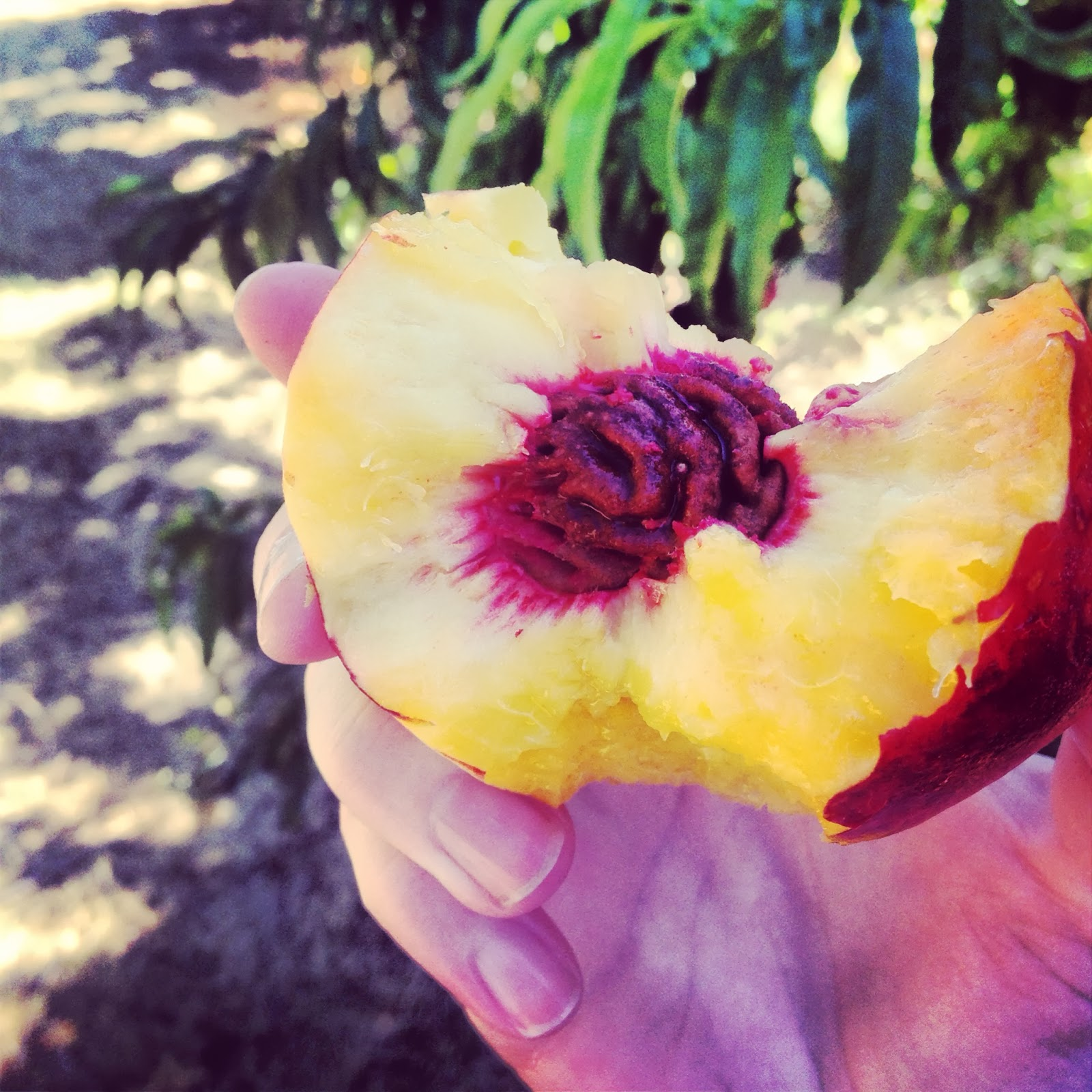 Kara got to eat several nectarines straight out of the field!