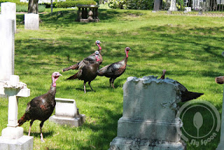 wild turkeys at Mount Auburn Cemetery
