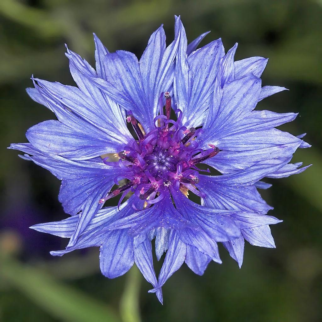 Le meraviglie del mondo il significato dei fiori fiordaliso - Fiori a campanella rossi ...