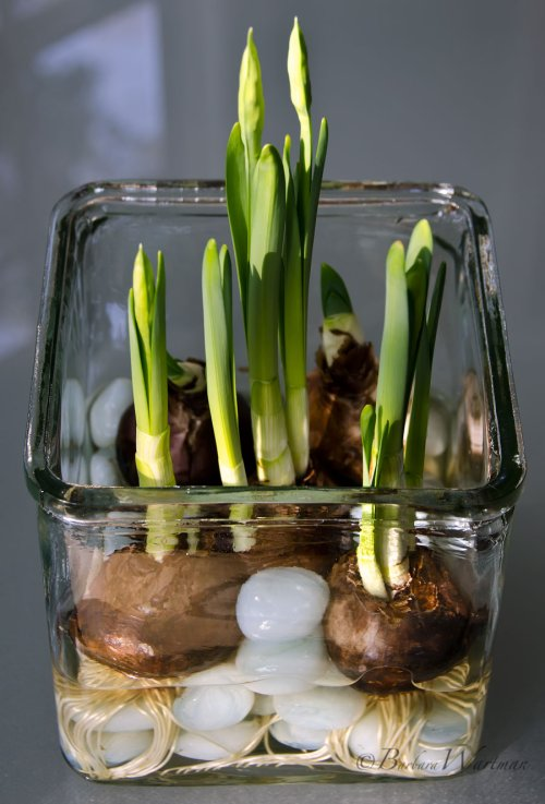 It 39 s time to plant your amaryllis for christmas blooms for Amaryllis planter bulbe