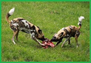 Wild dog anjing buas yang berasal dari afrika