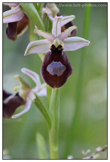 Ophrys arachnitiformis Ophrys-en-forme-d%2527araign%25C3%25A9e-%25285%2529