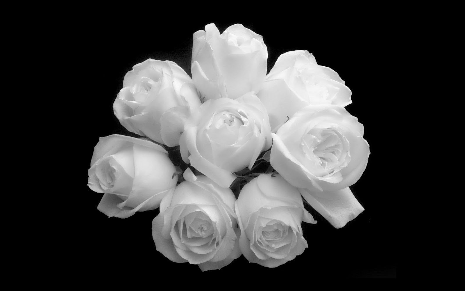 loving white rose flowers wallpapers entertainment only