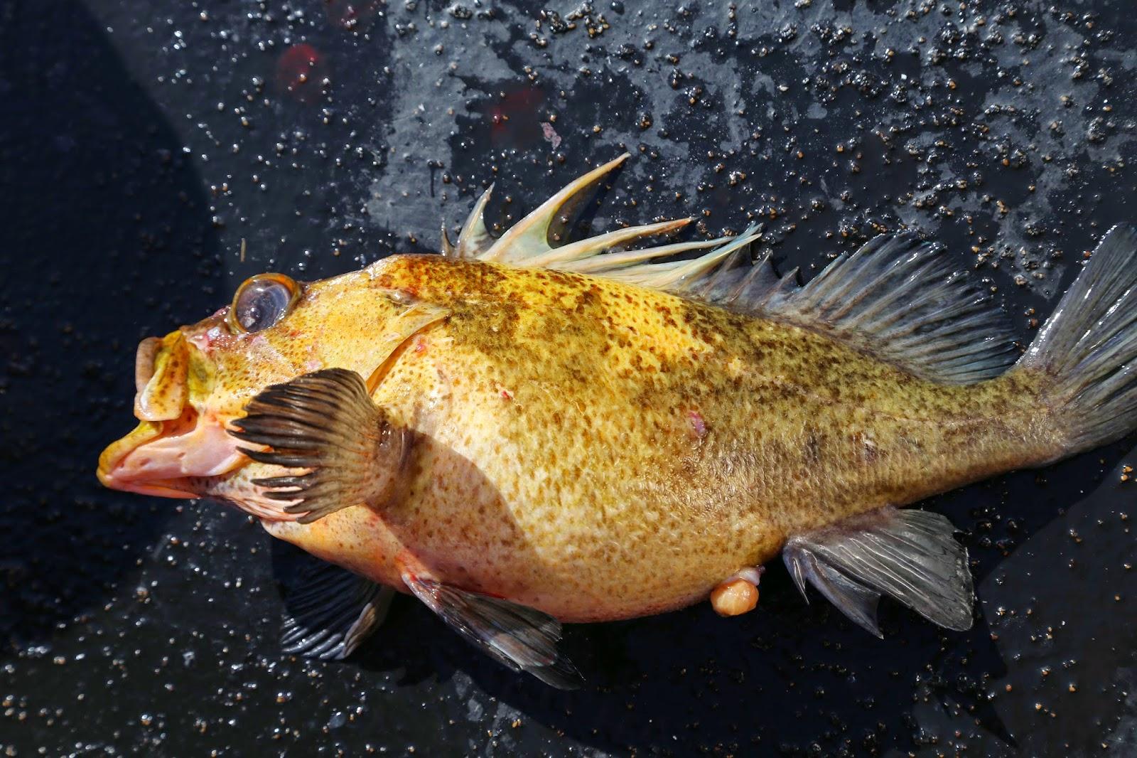 rockfish, sitka, alaska