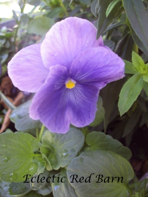 Purplish pansy with almost white petals
