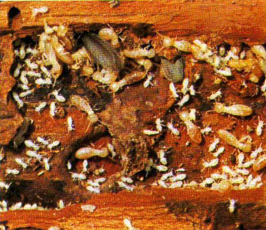 Baby Termites Pictures