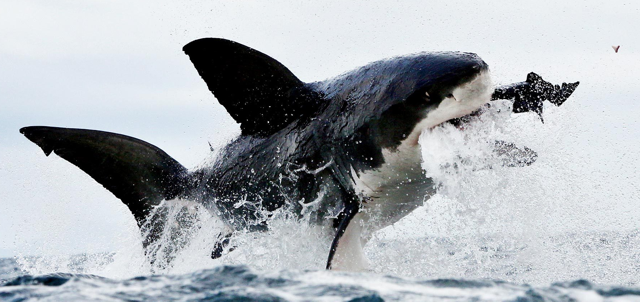 Shark Longevity Found to be Dramatically Underestimated