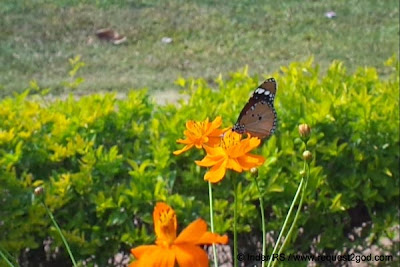 Plain Tiger Butterfly also known as African Monarch Sipping Nectar on Marigold flower