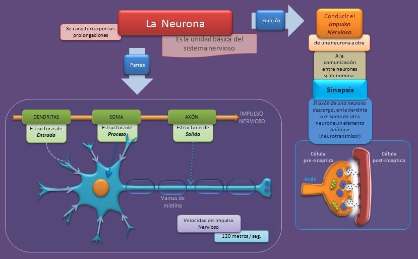 La Neurona  Esquemas diagramas grficos y mapas conceptuales