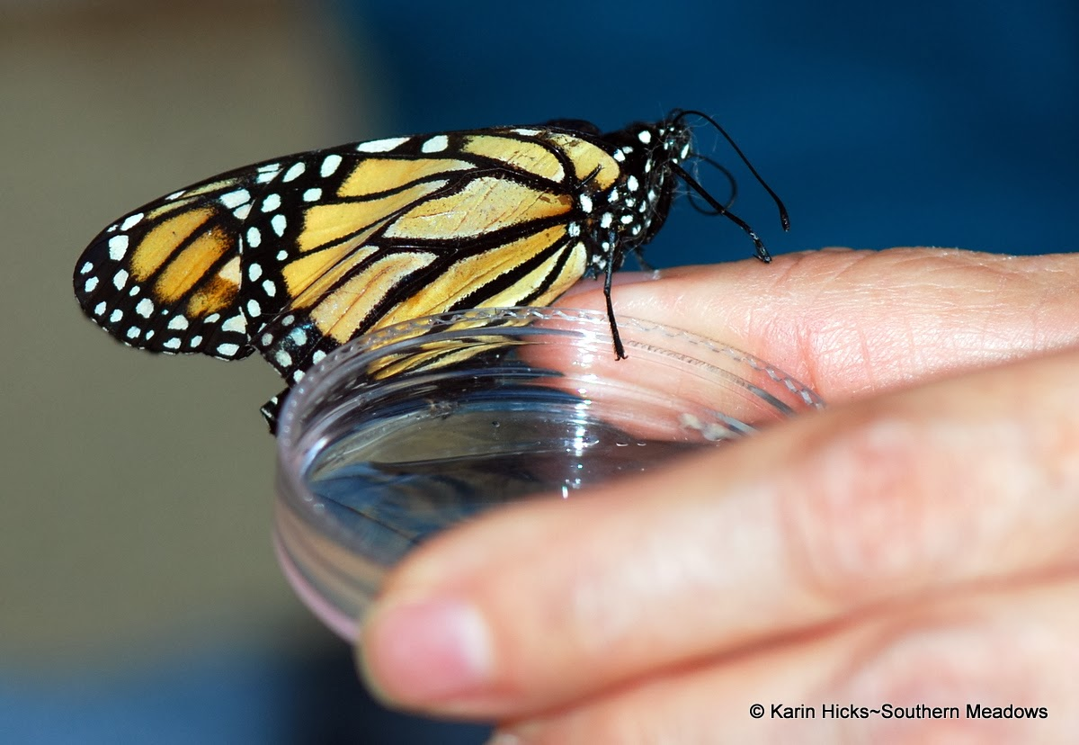 feeding monarch from petri dish