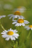 photo marguerite macro fleur marguerite camomille