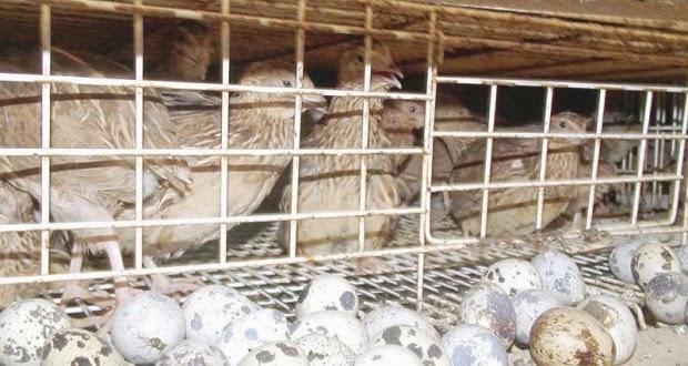 Quail Farming In Keral...