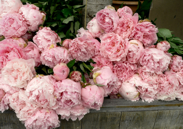 Bunch of Peonies