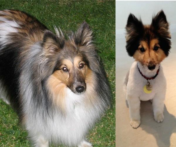 Cachorros transformados após passarem pela tosa