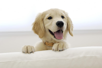 Golden Retriever Puppy Picture
