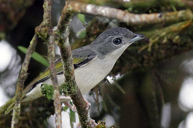 White-browed Shrike Babbler (Pteruthius flaviscapis)