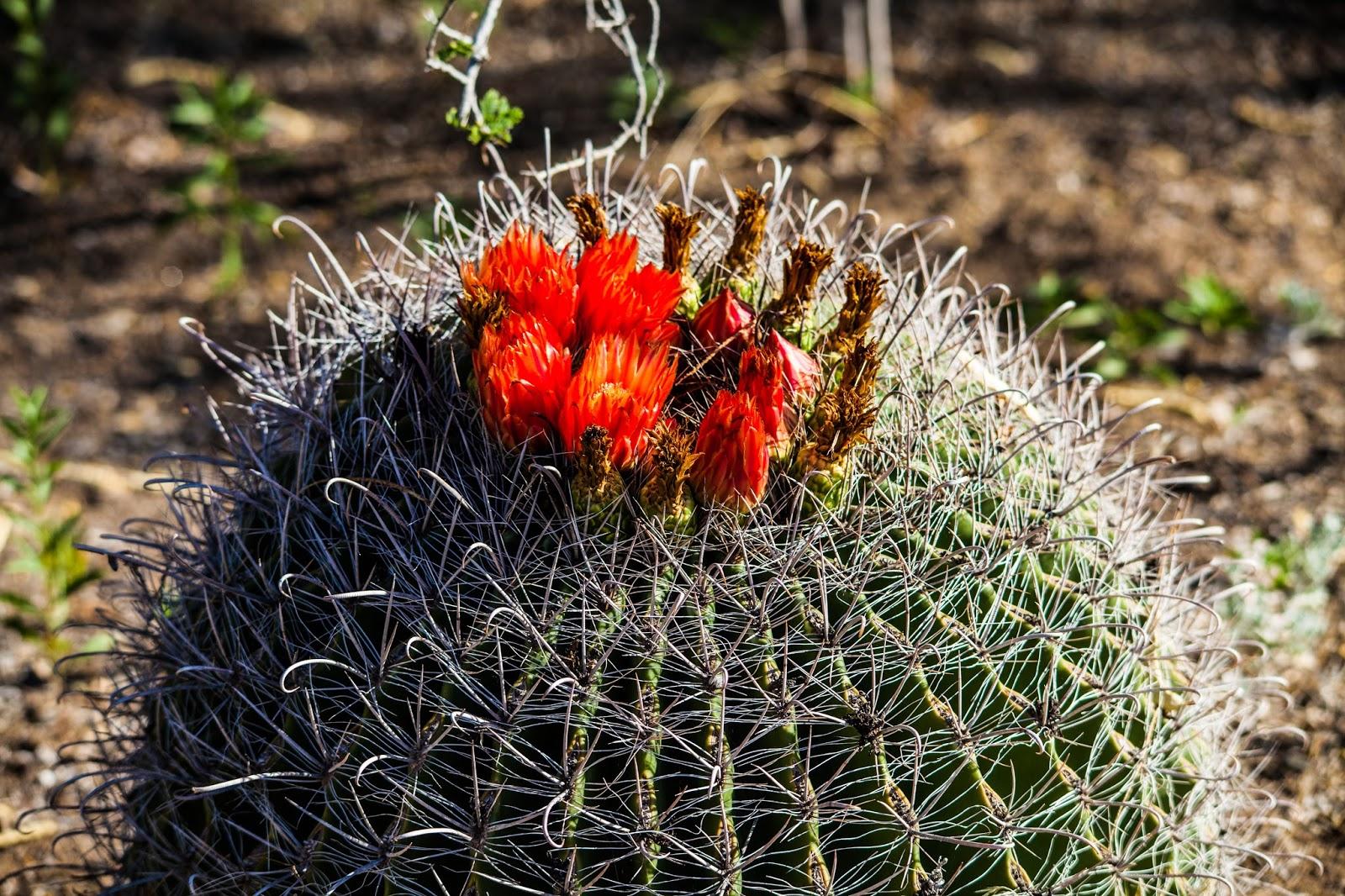 Fishhook barrel cactus walking arizona for Fish hook cactus