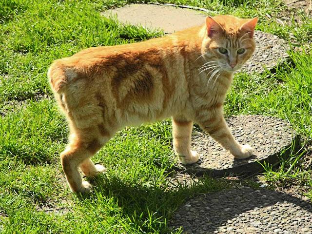 bobtailed orange-ginger tom cat