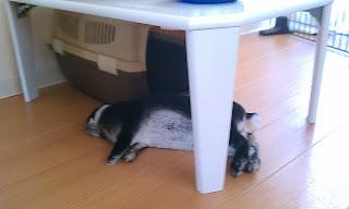 ベッタリ寝るうさぎ、ミニレッキス