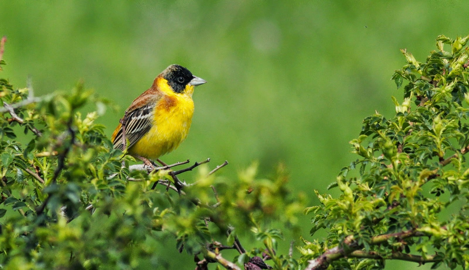 Black-headed Bunting, copyright Iordan Hristov