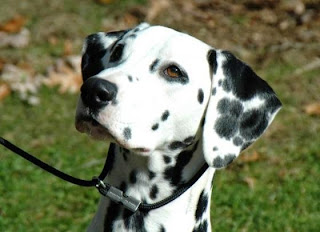 Chó đốm (Dalmatian)