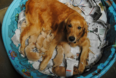 Golden Kaylee with her litter of pups