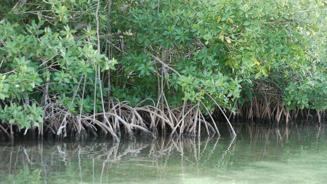 Mangrove et écosystème