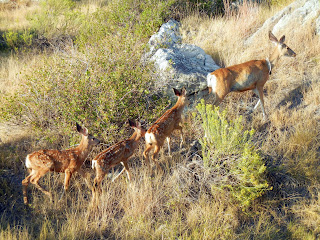 Deer family at the Badlands National Park in South Dakota