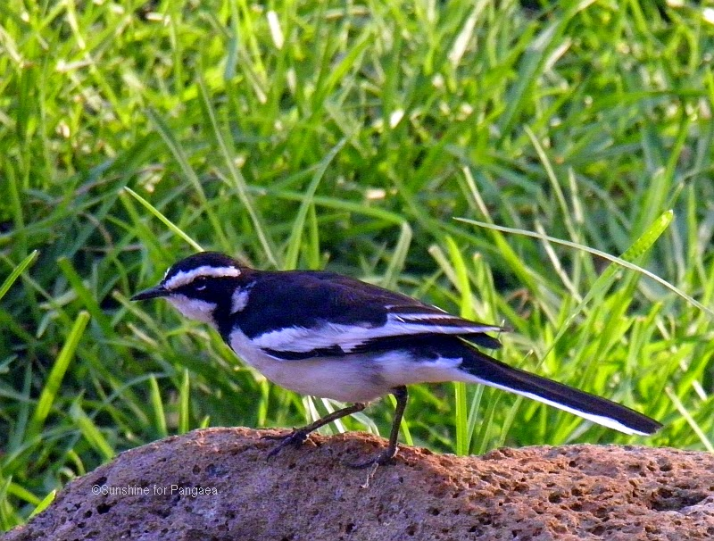 African pied wagtail at lake tana Ethiopia