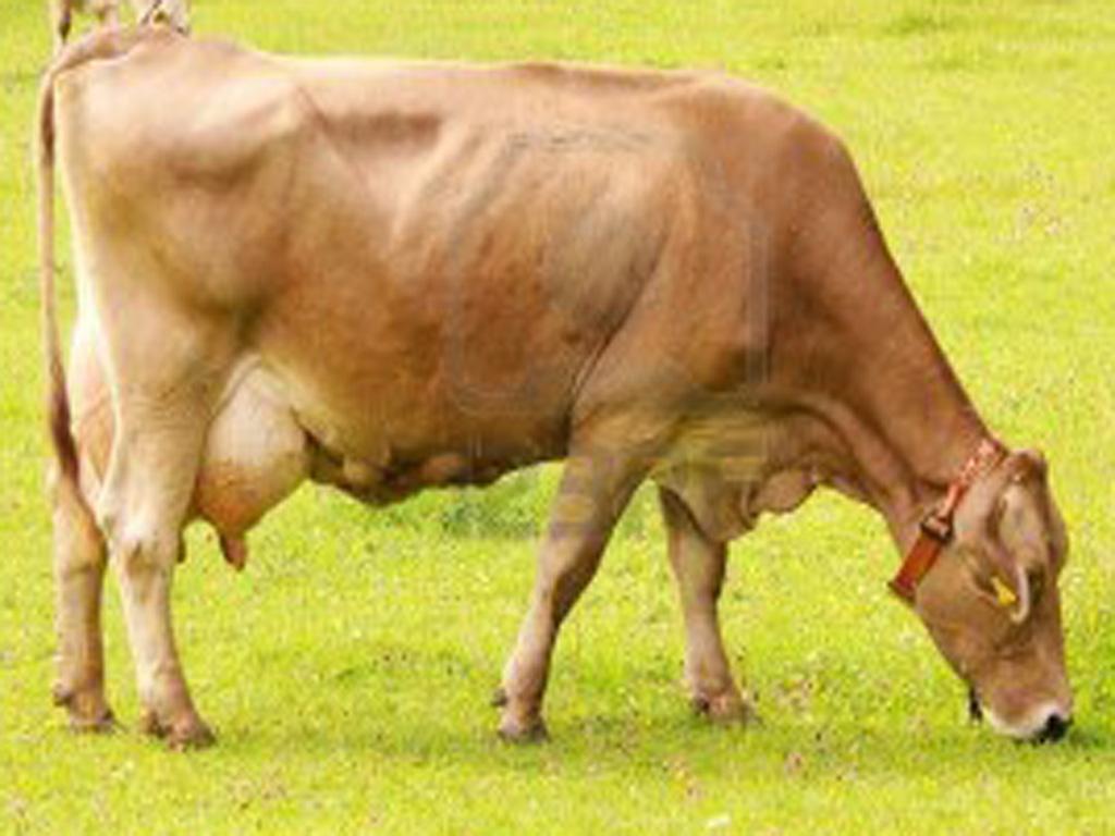 Breeds of livestock sahiwal cattle breeds of livestock