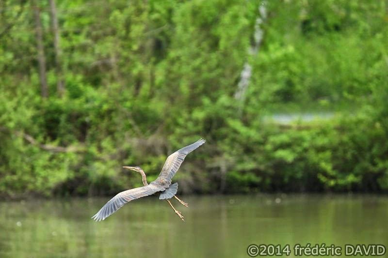 nature animaux oiseaux héron pourpré Sorques Seine-et-Marne